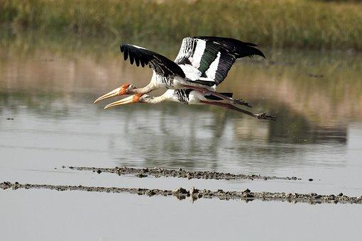 Storks, Flying, Lake, Painted Storks, Birds, Wings
