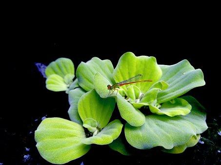 Dragonfly, Duckweed, Water Hyacinth, Green, Natural