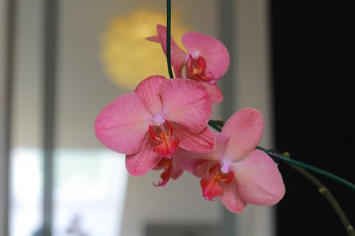 Orchid, Pink Orchid, Tropical, Exotic, Houseplant