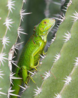 Iguana, Green, Cactus, Botanical, Garden, Lizard