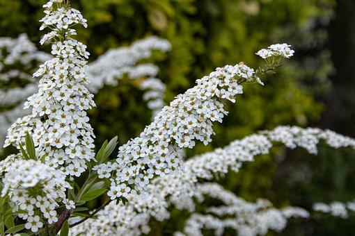 Meadowsweet, Flowers, Plant, Spiraea Thunbergii