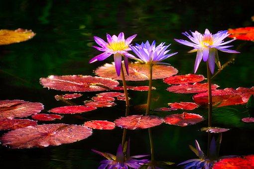 Water Lilies, Flowers, Pond, Water, Nuphar Lutea