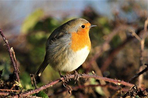 Robin, Robin Redbreast, Song Bird, Wildlife, Animal