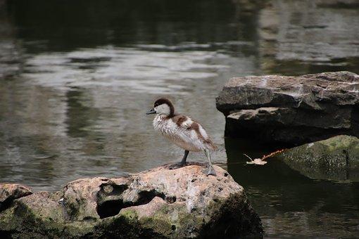 Bird, Duck, Baby Duck, Perched, Beak, Feathers, Plumage