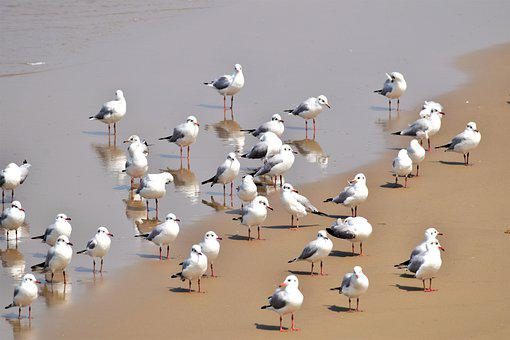 Seagulls, Birds, Coast, Gulls, Seabirds, Animals