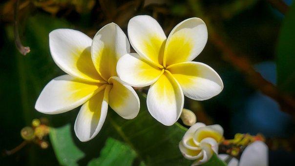 Frangipani, Flowers, Plant, Petals, Plumeria, Bloom