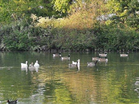 Duck, Goose, Pond, Island, Moorhen