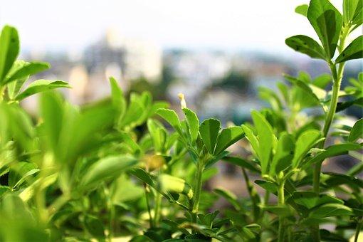 Fenugreek, Methi, Fresh, Green, Indian, Leaf, Asian