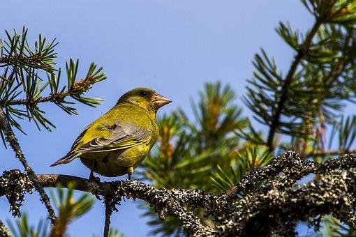 Bird, European Greenfinch, Branch, Greenfinch, Perched