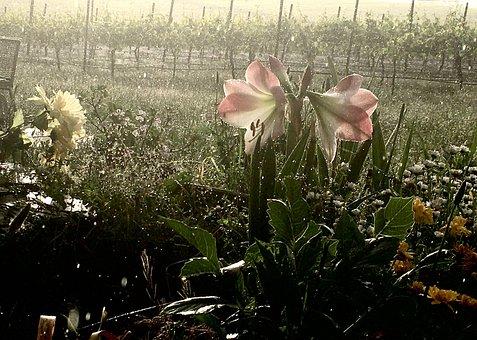 Flower, Vineyard, Spring, Garden, Blossom, Nature, Dew
