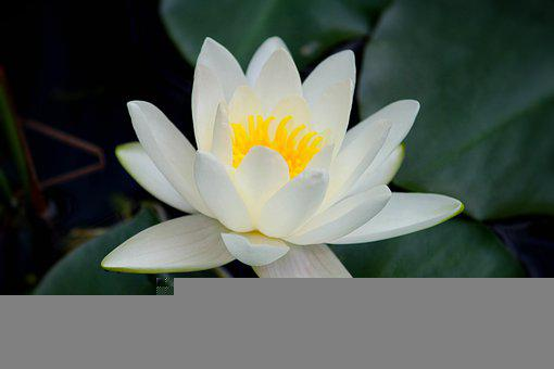 Water Lily, Flower, Plant, Petals, Bloom, Blossom