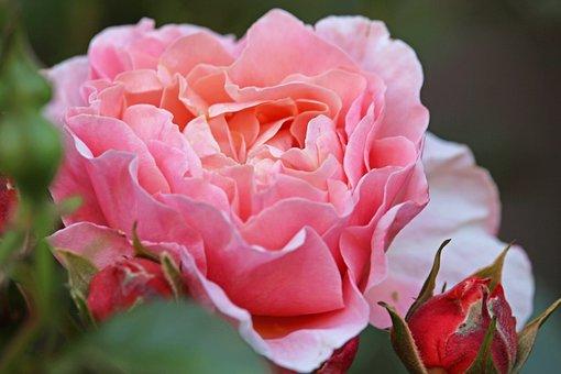 Rose, Pink, Flower, Pink Rose, Pink Flower, Petals