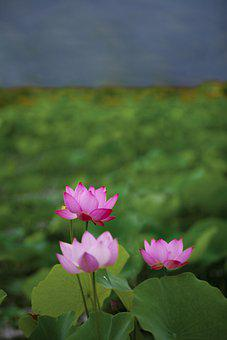 Lotus, Plants, Water Lilies, Pond