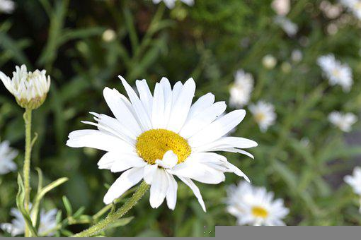 Flower, White, Summer, Nature, Spring, Plant, Blossom
