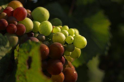 Grapes, Fruit, Organic, Vine, Wine, Drink, Food, Winery