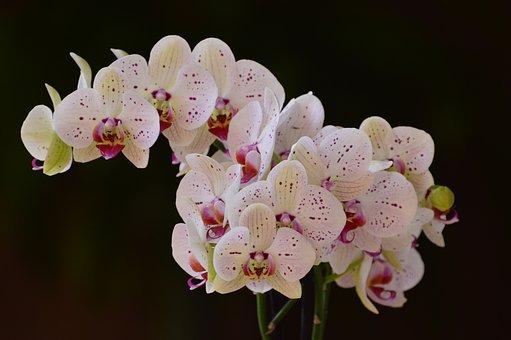 Orchids, Flowers, Bloom, Blossom, Petals, Flora