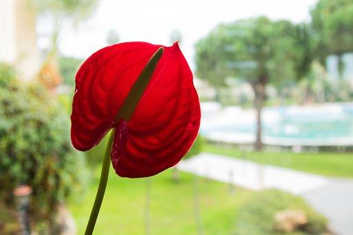 Flower, Calla, Red, Immortality, Petals, Petal, Floral