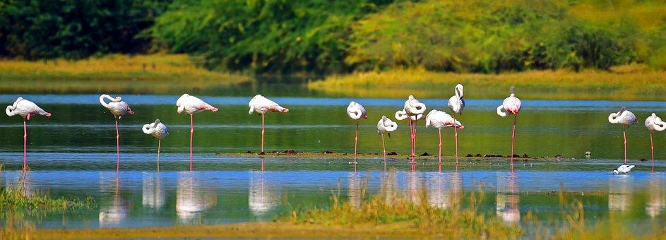 Flamingos, Birds, Feathers, Flock, Lake, Resting, Rest