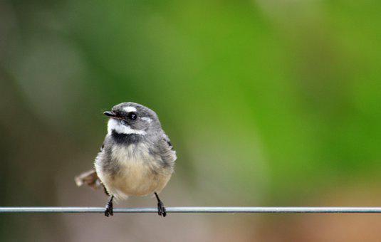 Grey Fantail, Perched, Wire, Small Bird, Bird