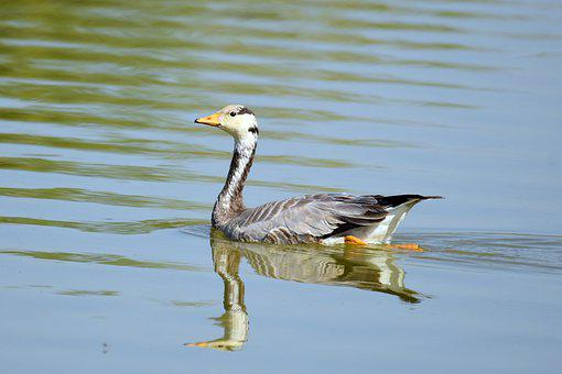 Bar Headed Goose, Goose, Feathers, Waterfowl, Swimming