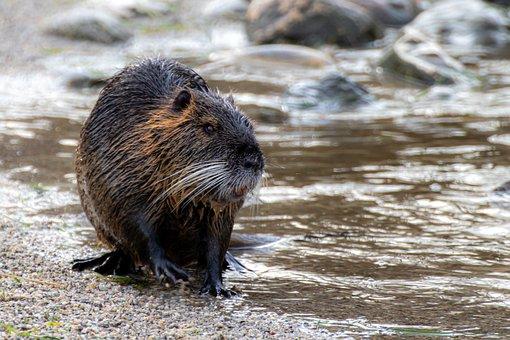 Coypu, Nutria, Rodent, Water, Semiaquatic Rodent