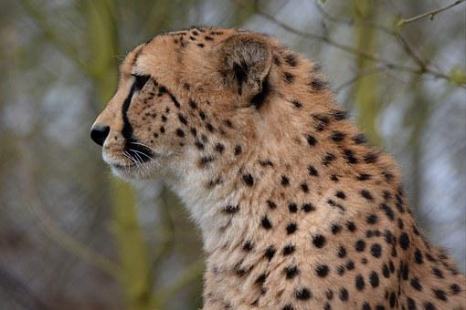 Cheetah, Leopard, Animal, Jaguar, Head