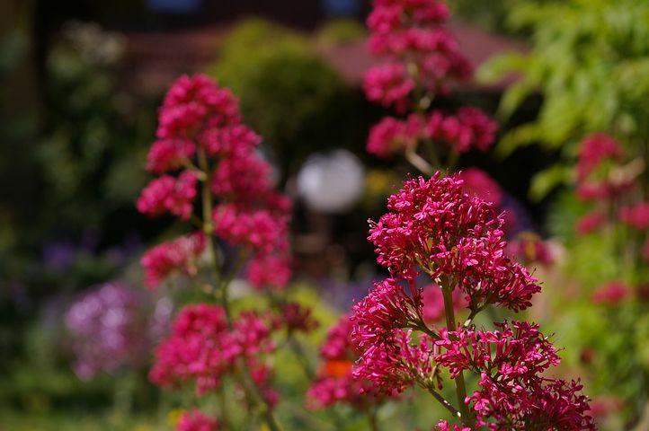 Spur Flower, Red Spur Flower, Beautiful, Flower, Garden