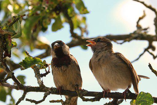 Sparrow, Sparrows, Bird, Feather, Plumage, Animal