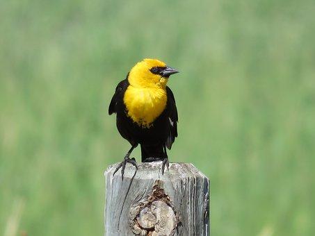 Blackbird, Yellow Headed, Marsh, Yellow-headed