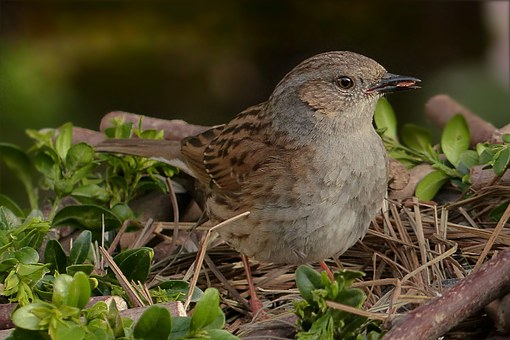 Dunnock, Prunella Modularis, Bird, Songbird, Garden