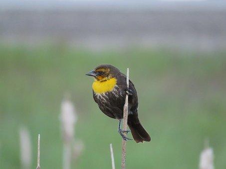 Female Yellow-headed Blackbird, Blackbird, Marsh Bird