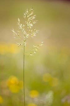 Grass, Grasses, Seeds, Plant, Meadow, Nature, Close Up