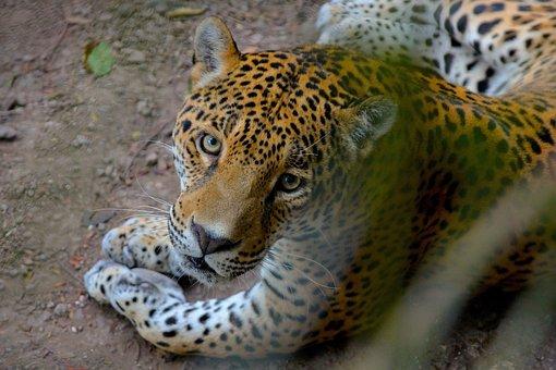 Nature, Sight, Jaguar, Nature Wallpaper, Misterious