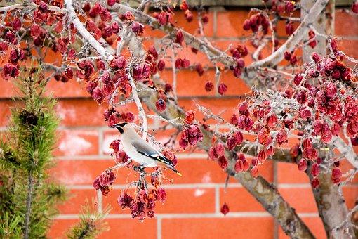 Bird, Crab Apple, Tree, Wings, Nature, Wildlife