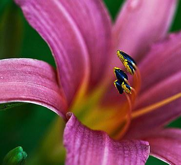 Lily, Petals, Pink, Magenta, Stamens, Pollen