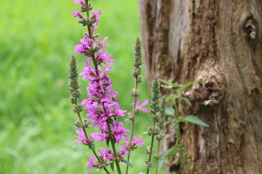 Flower, Purple, Nature, Blossom, Bloom, Purple Flower