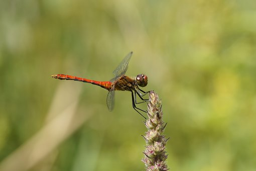 Dragonfly, Red, Red Dragonfly, Close, Macro