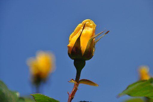 Yellow, Rose, Rosebud, Close, Rose Bloom, Plant
