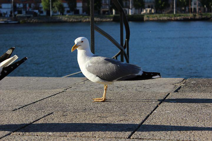 Porto River, Seagull, Left Front Side