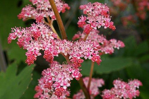 Shield Leaf, Pink, Pink Flower, Blossom, Bloom, Flower