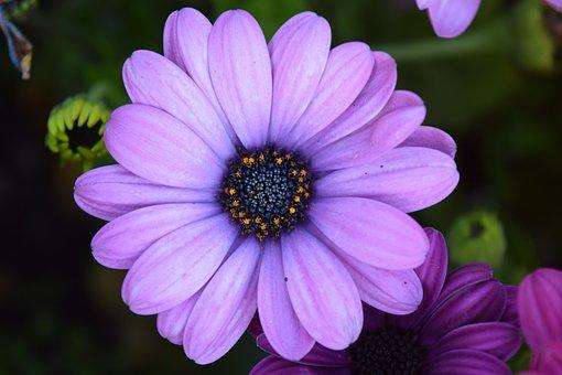 Cape Basket, Close, Blossom, Bloom, Pink, Violet