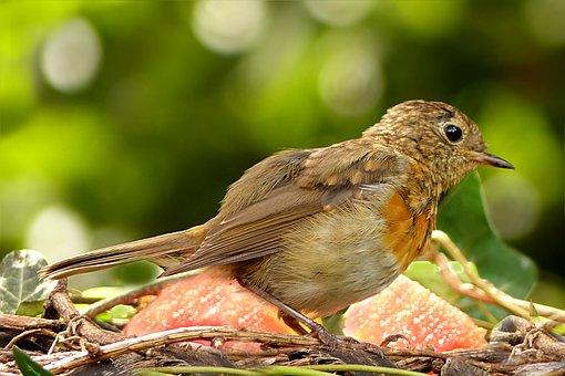 Bird, Robin, Erithacus Rubecula, Young, Foraging