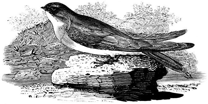 Sand Martin, Bird, Aves, Bank, Engraving, Vintage