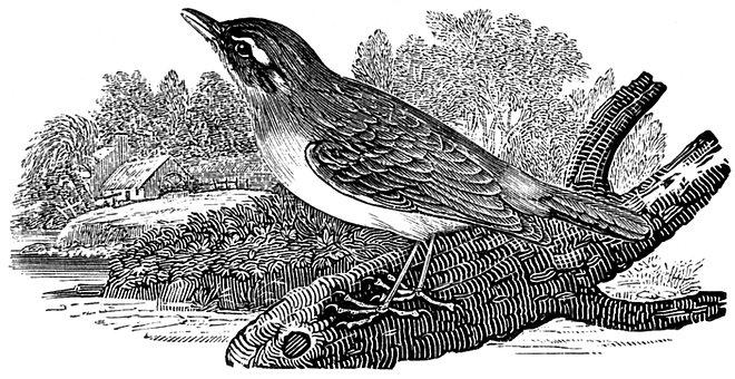 Sedge Warbler, Bird, Warbler, Acrocephalus, Migratory