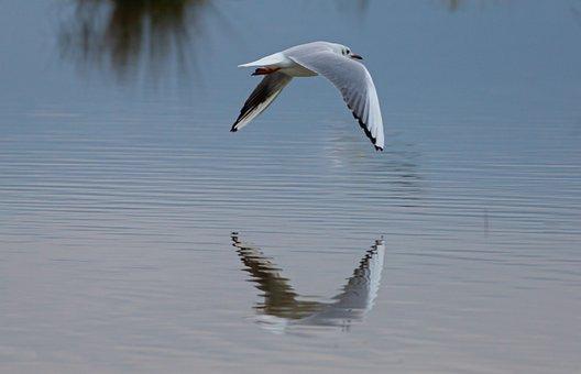 Black Headed Gull, Summer Plumage, Gull, Seagull