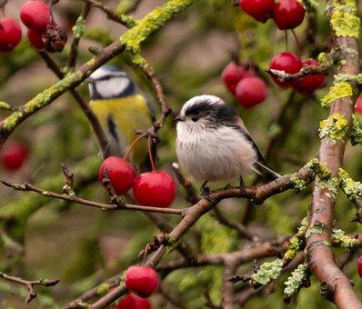 Bluetit On A Branch, Blue Tit, Tit, Small Bird