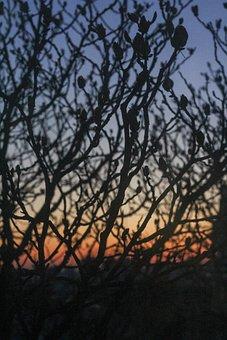 Tree, Branches, Chestnut, Spring, Sunset