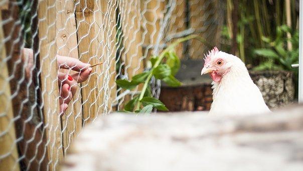 Chicken, Hen, Chickens, Poultry, Animal, Cochin