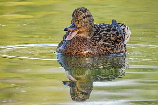 Duck, Mallard, Bird, Dabbling Duck, Anatinae, Lake