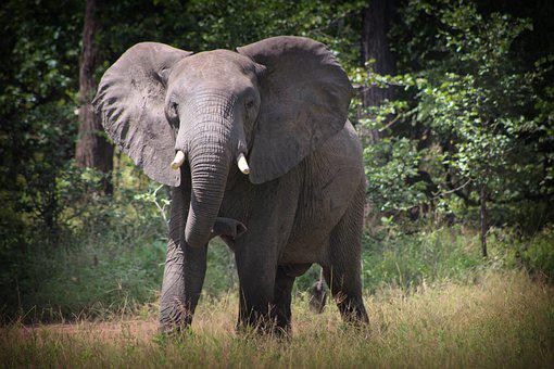 Elephant, Tusks, Trunk, Elephant Tusks, Elephant Trunk